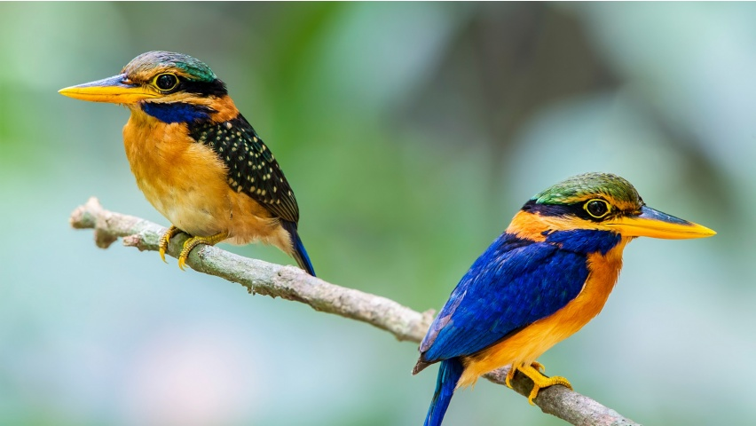Two Kingfisher Bird