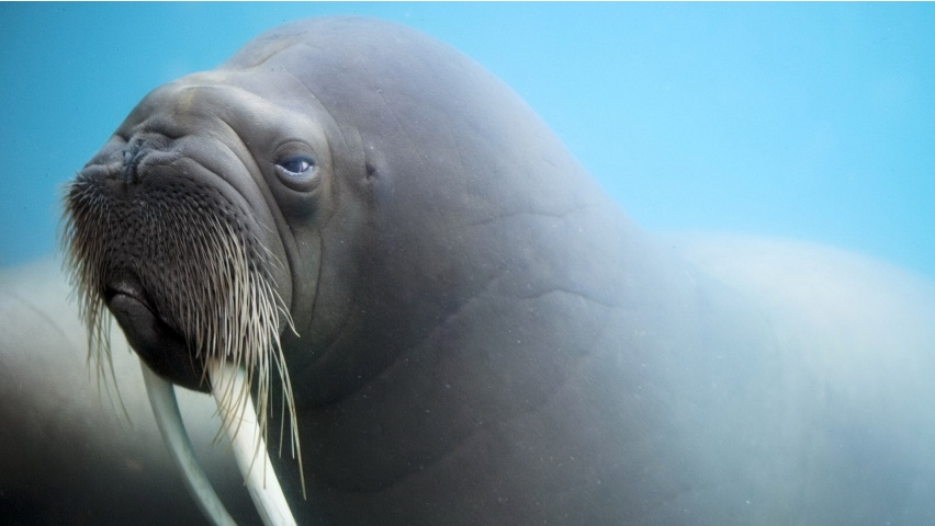 Walrus Tusks Whiskers Muzzle
