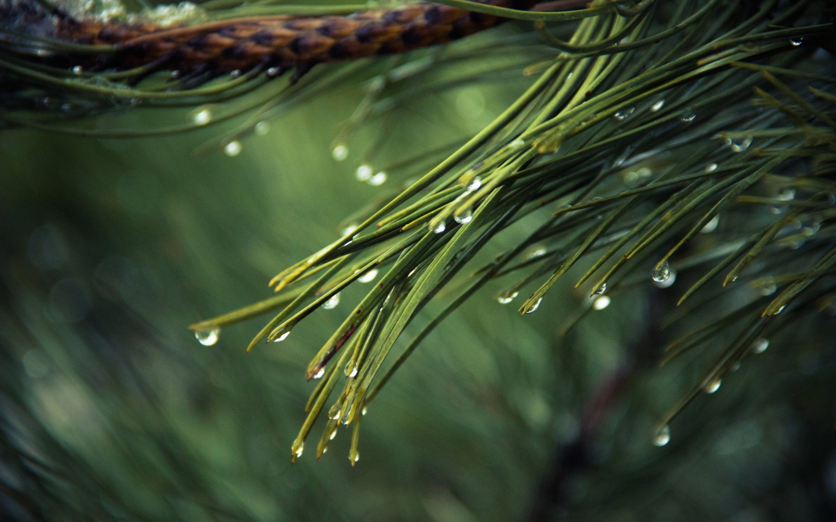 Water Drops On Tree