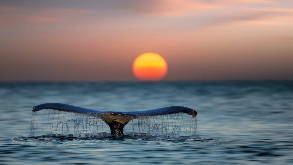 Whale Shark Tail Sunset