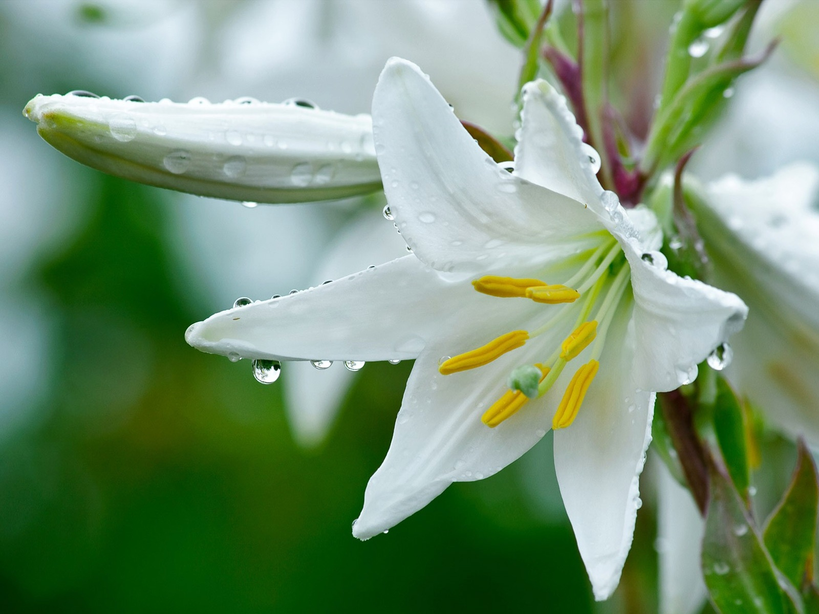 White Lily Flowers Wallpapers