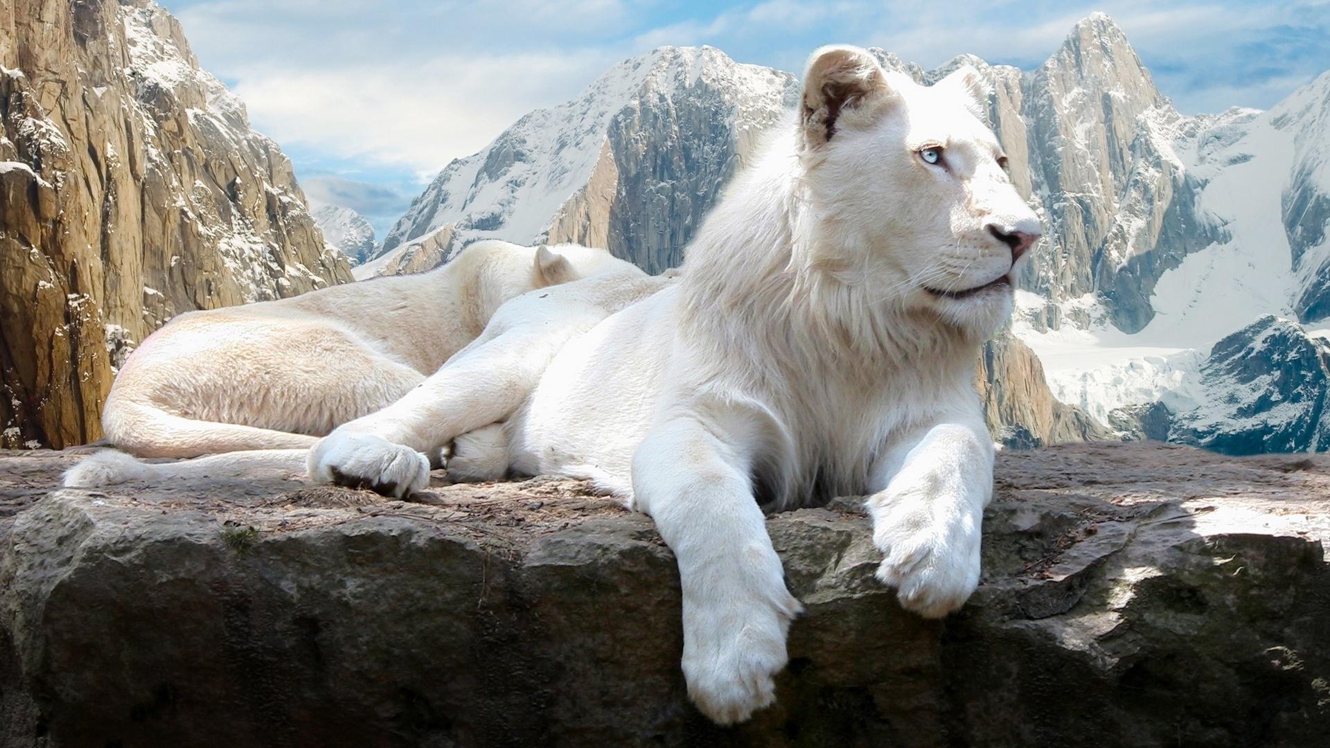 On mountain wallpaper white lion on mountain free wallpaper download