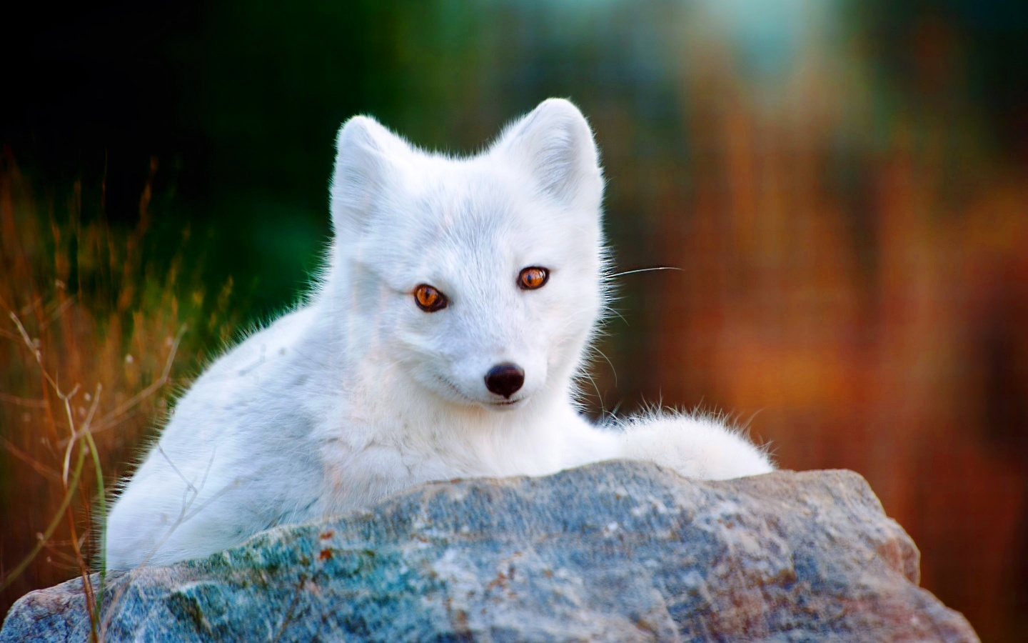 Lobo animal www imgarcade com online image arcade - White Polar Arctic Fox Wallpapers 1440x900 306838 White Arctic Fox