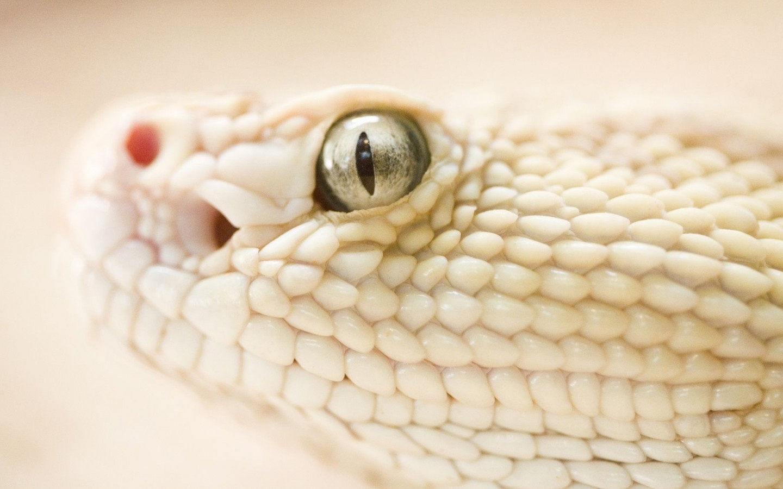White Snake Pictures White Snake Free Wallpaper Download for Desktop
