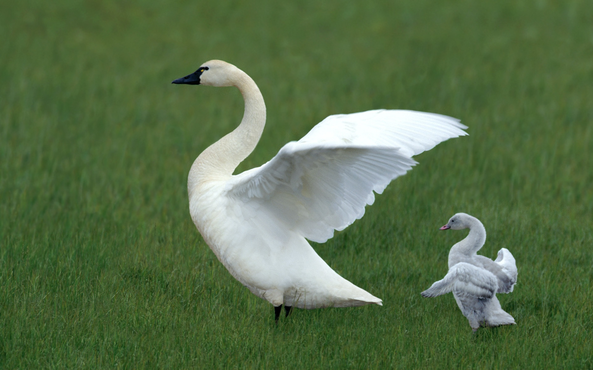 White Swan And Baby