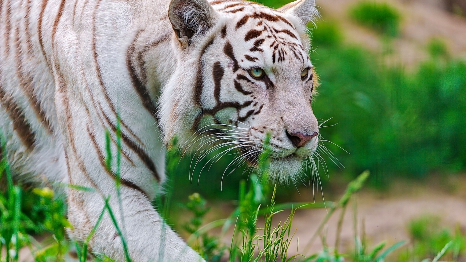 White Tigress Walking In The Grass