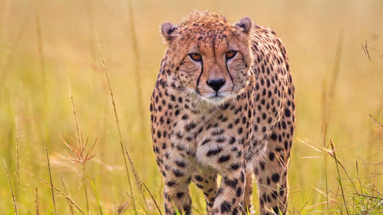 Wild Predator Cheetah In Grass