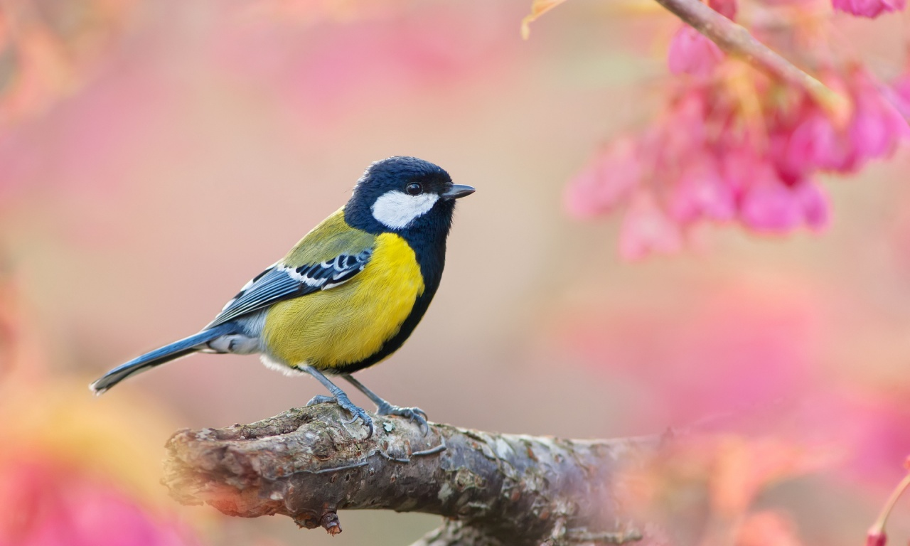 Http Www Bhmpics Com View Yellow Bird And Pink Background 1280x768 Html