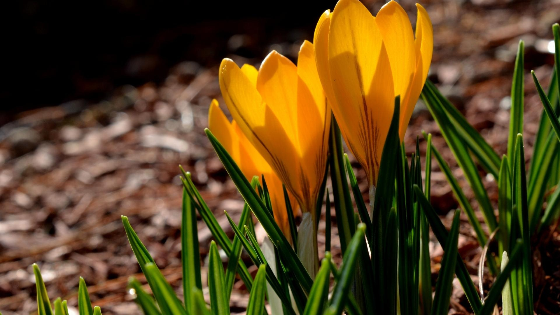 Yellow Sunny Crocuses On Green Grass