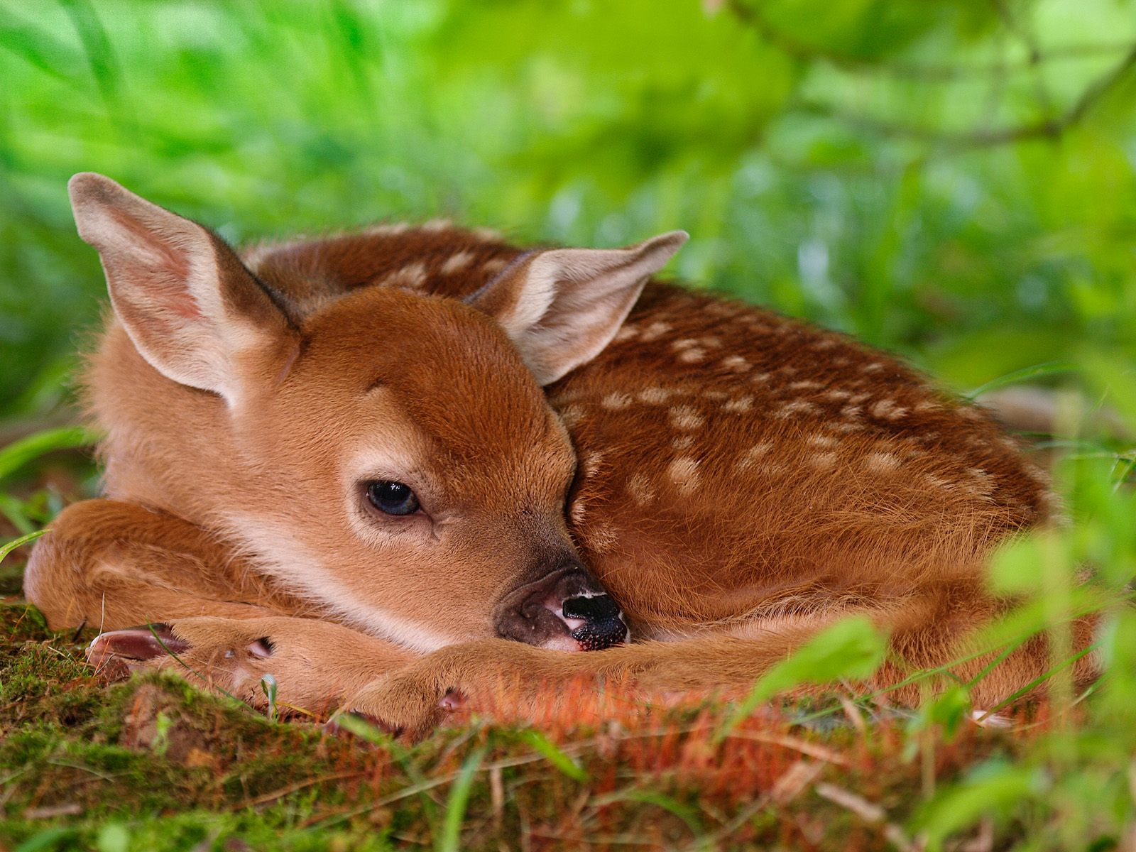 baby whitetail fawn in - photo #5