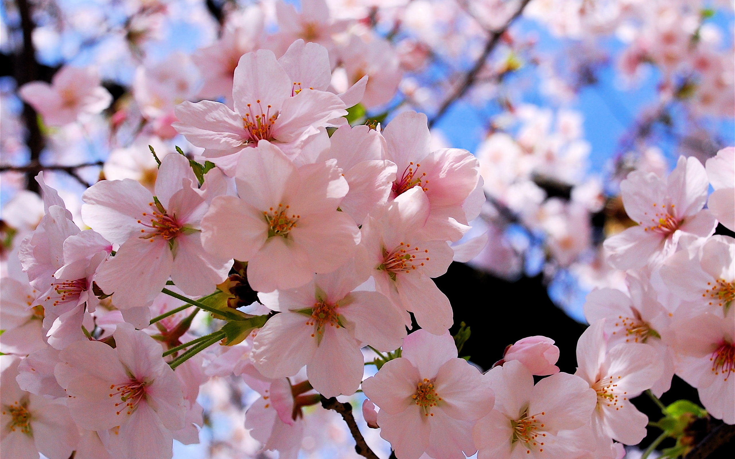 Beautiful Cherry Blossoms Wallpapers 2560x1600 1680529