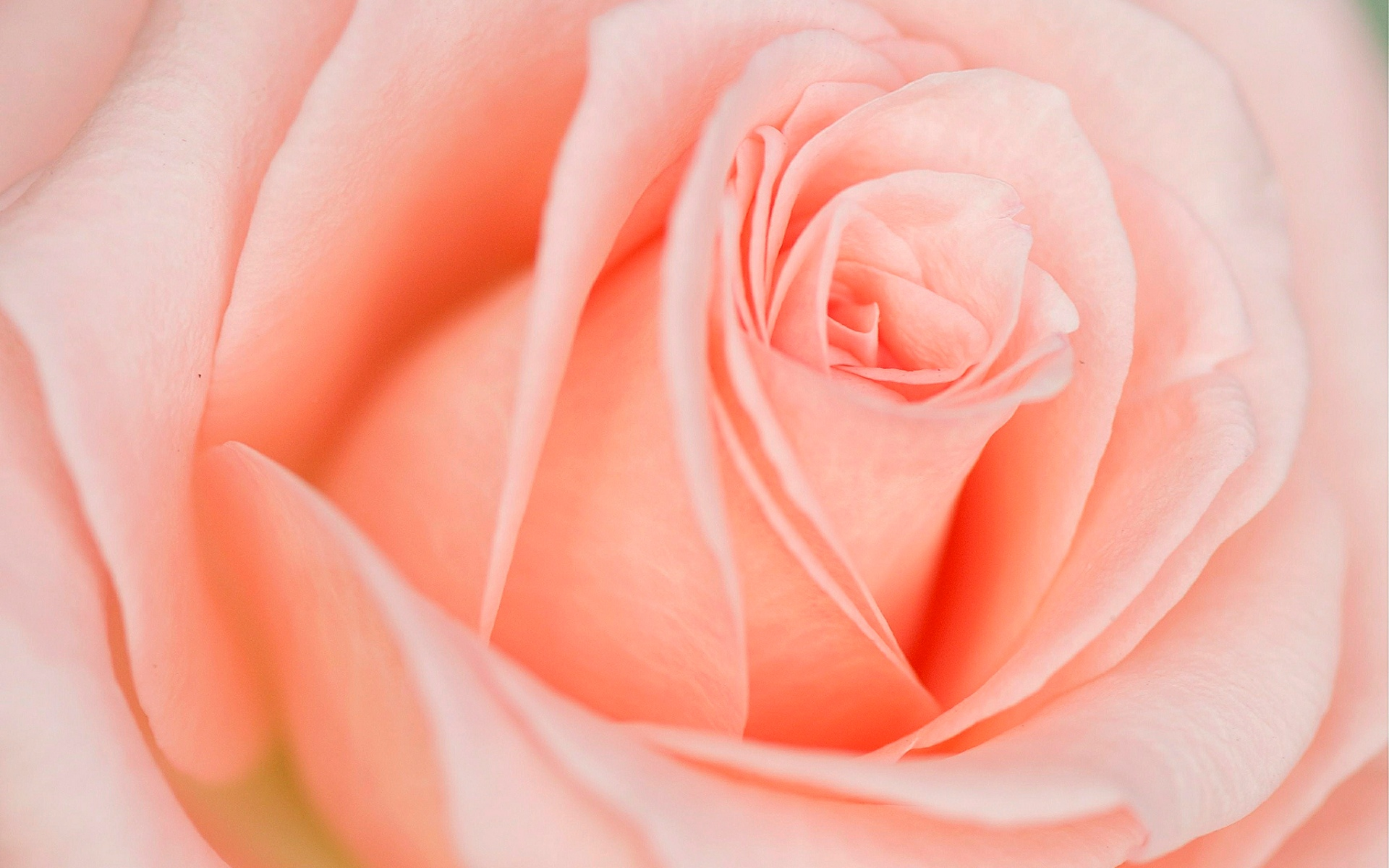 Beautiful Light Pink Rose Click To View