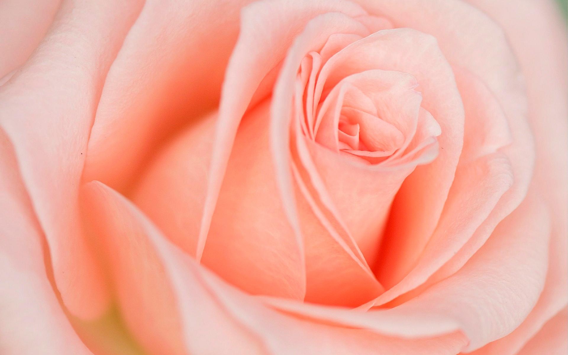 Beautiful Light Pink Rose Click To View