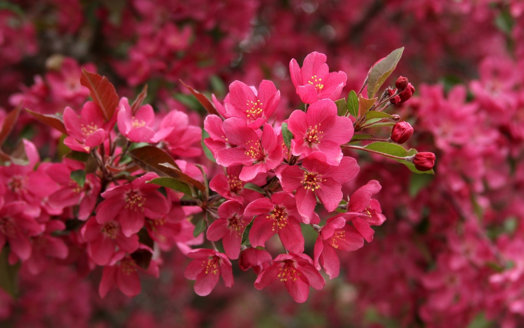 Beautiful Pink Flowers Branch Wallpapers