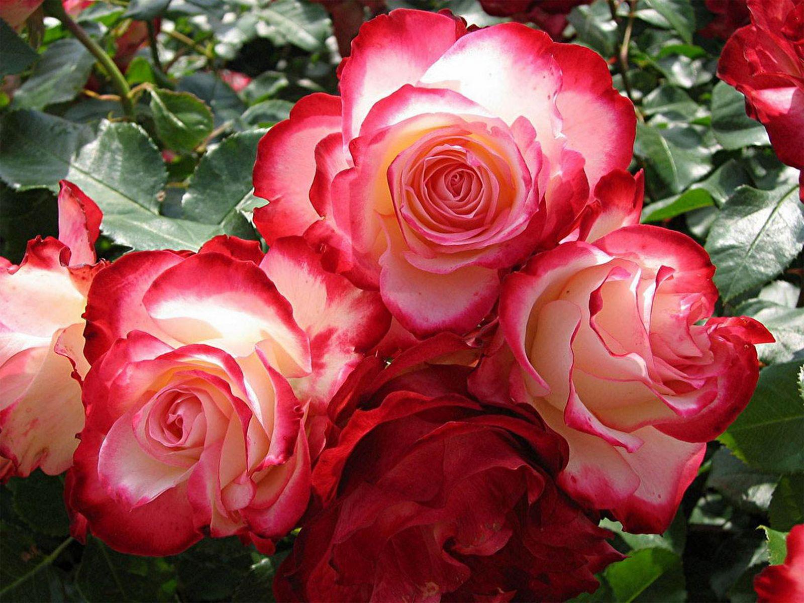 Beautiful Pink Roses Wallpapers