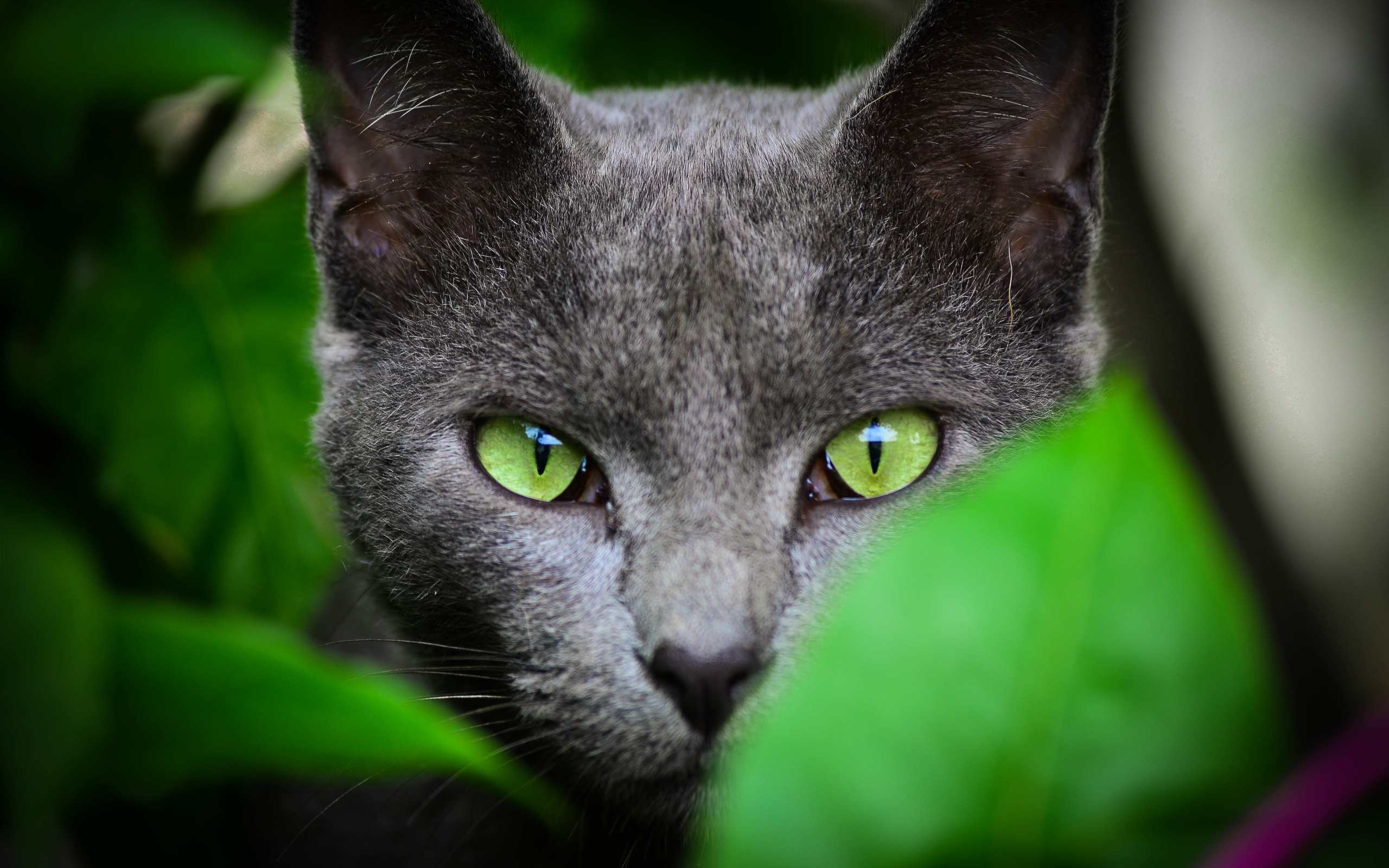 Black Cat Green Eyes Color Wallpapers
