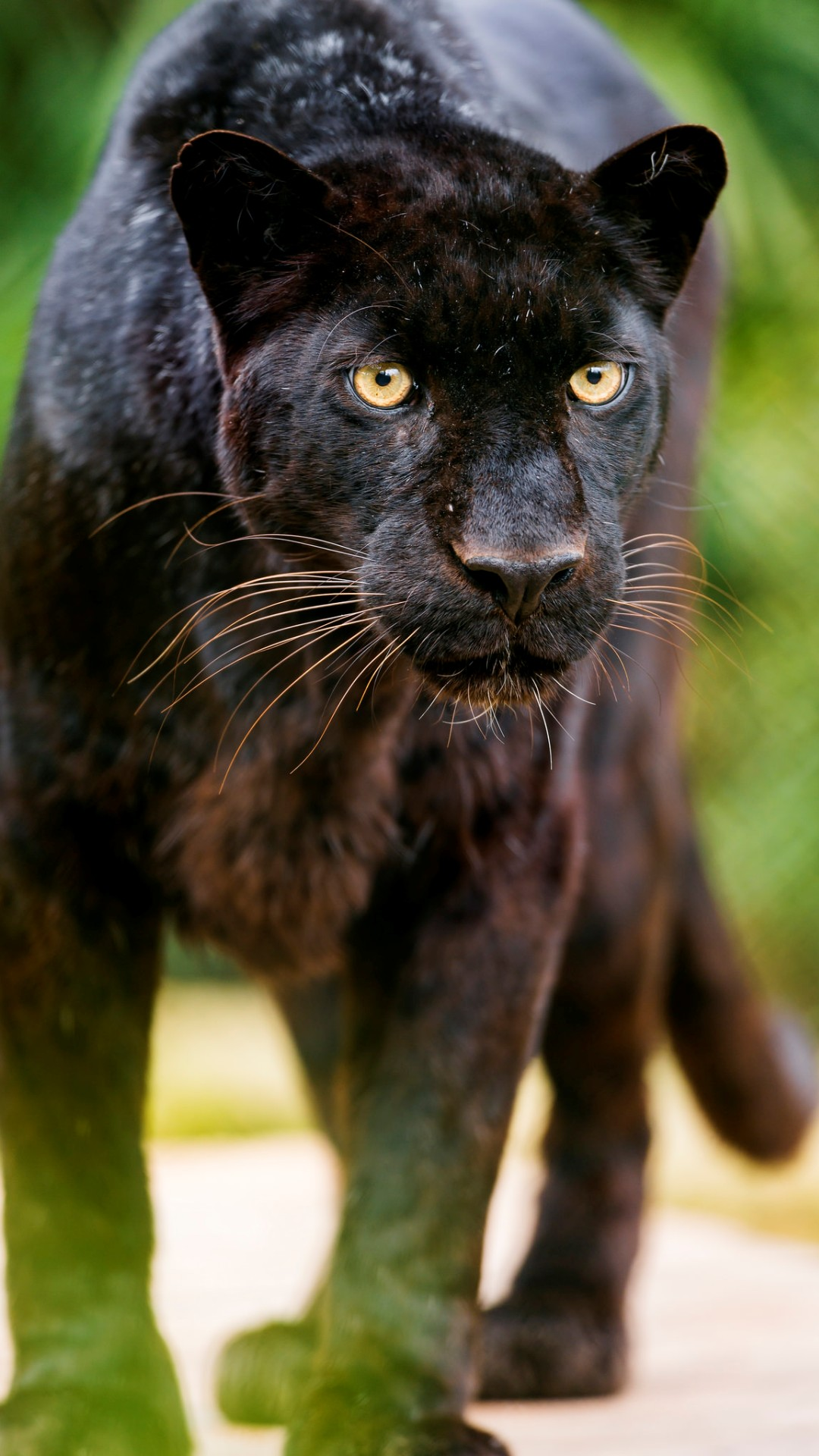 Black Leopard Looking At Me Wallpapers 1080x1920 321489
