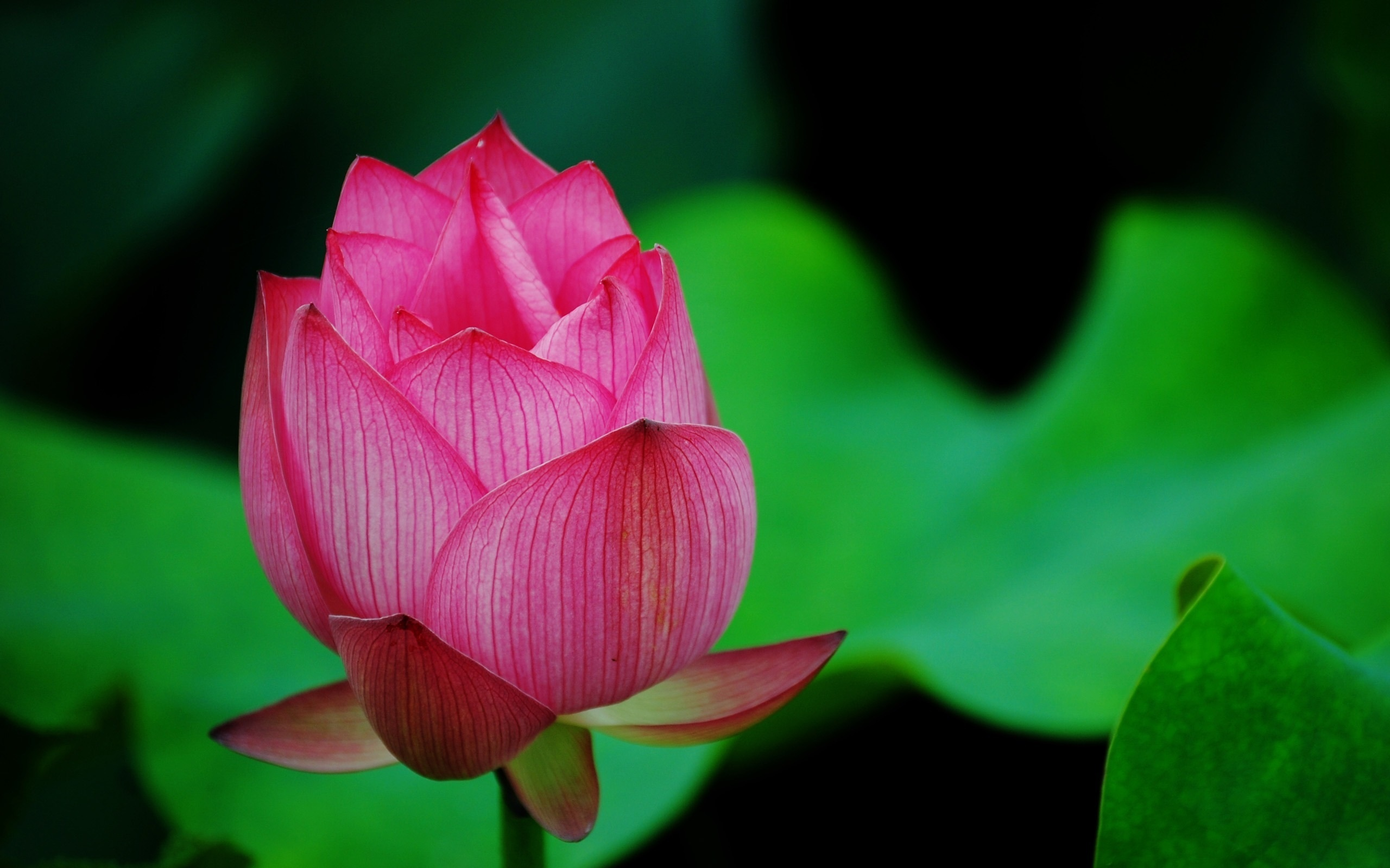 Blooming Lotus Flower Wallpapers 2560x1600 510876