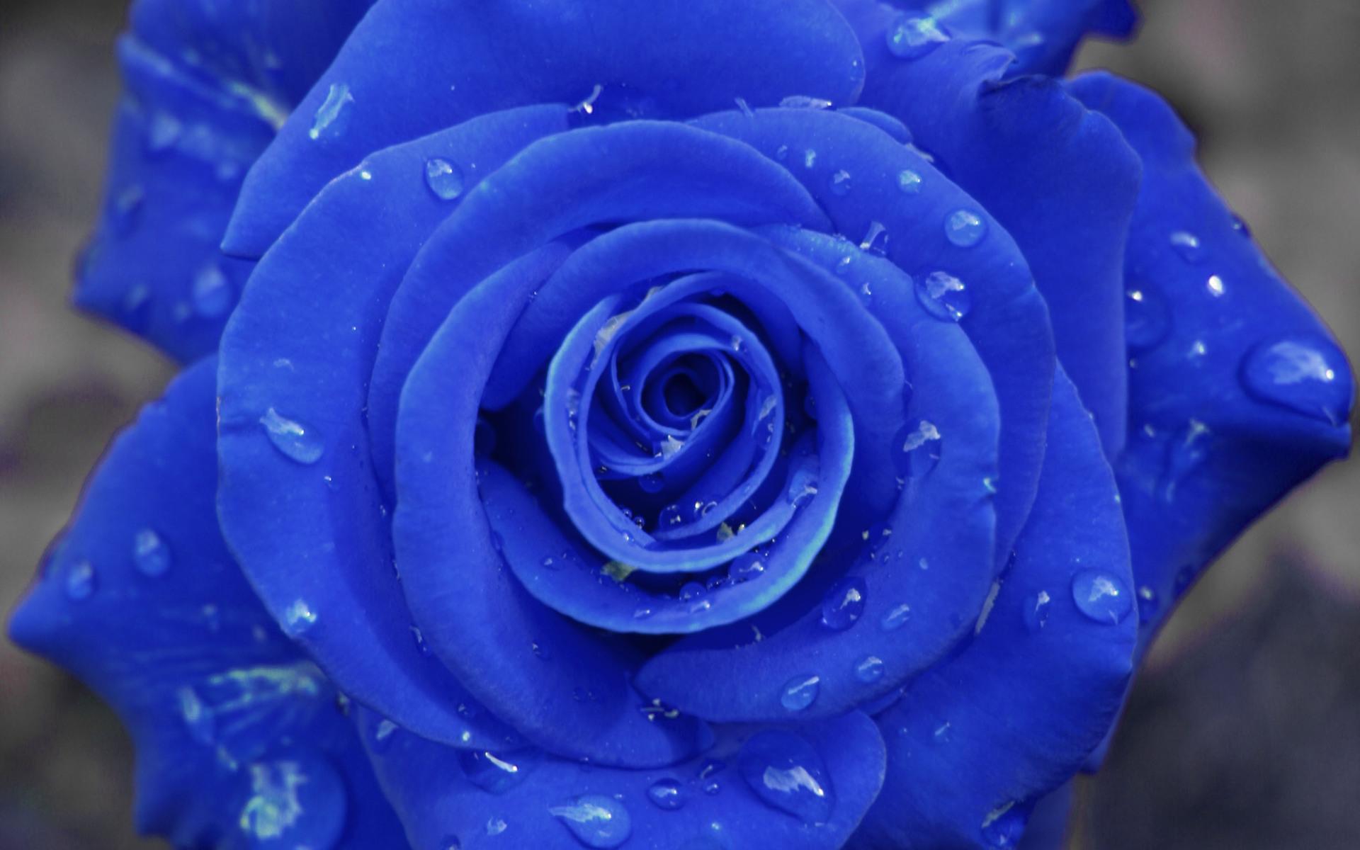 Blue Rose | 1920 x 1200 | Download | Close