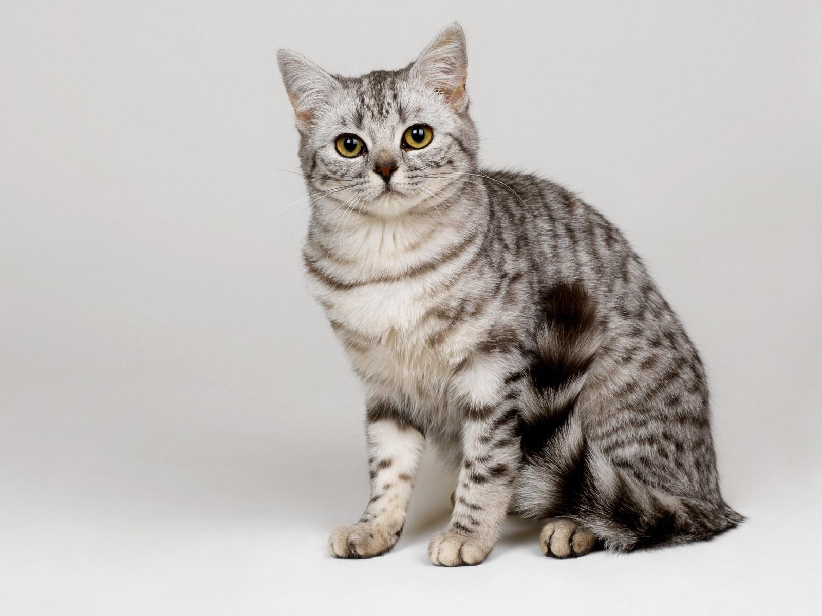 siberian cat maryland