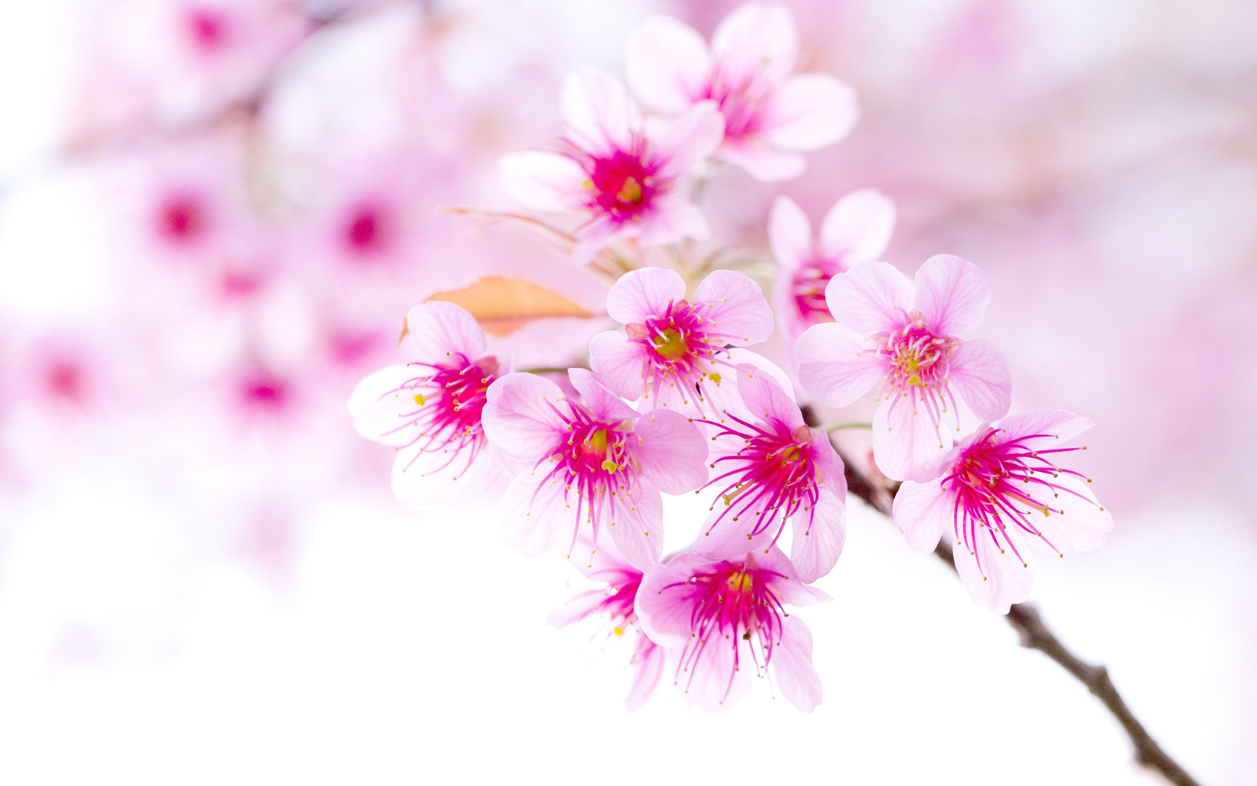Cherry blossom pink sakura flower wallpapers cherry blossom pink sakura flower click to view mightylinksfo