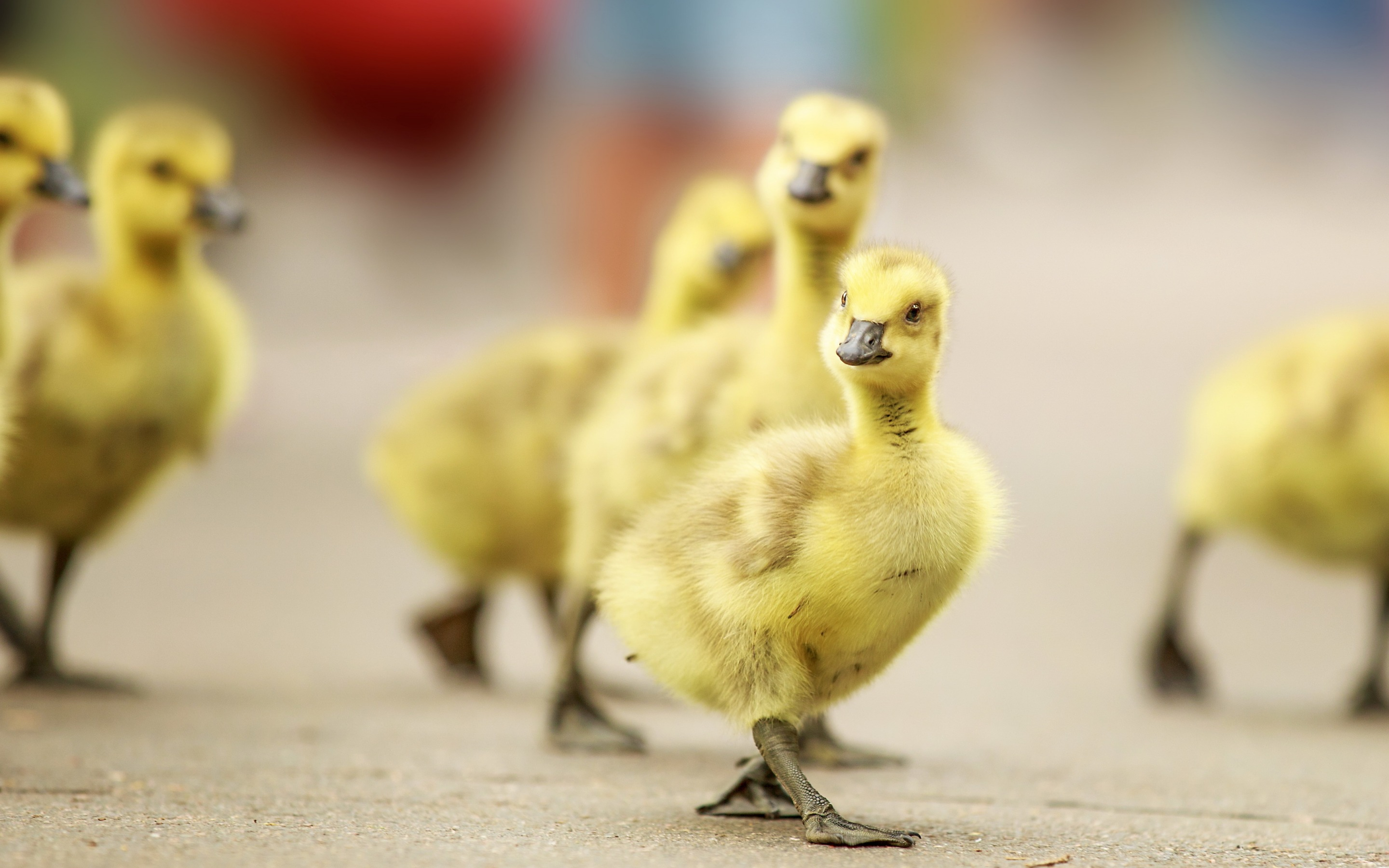 Chicken Baby Cute Wallpapers 2880x1800 608909