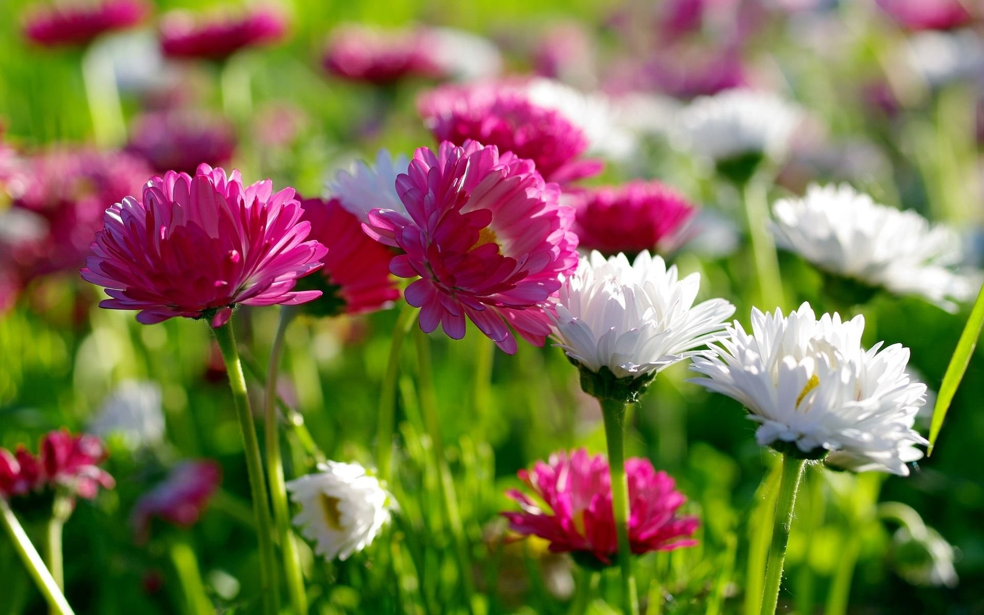 Chrysanthemum Flower Wallpapers