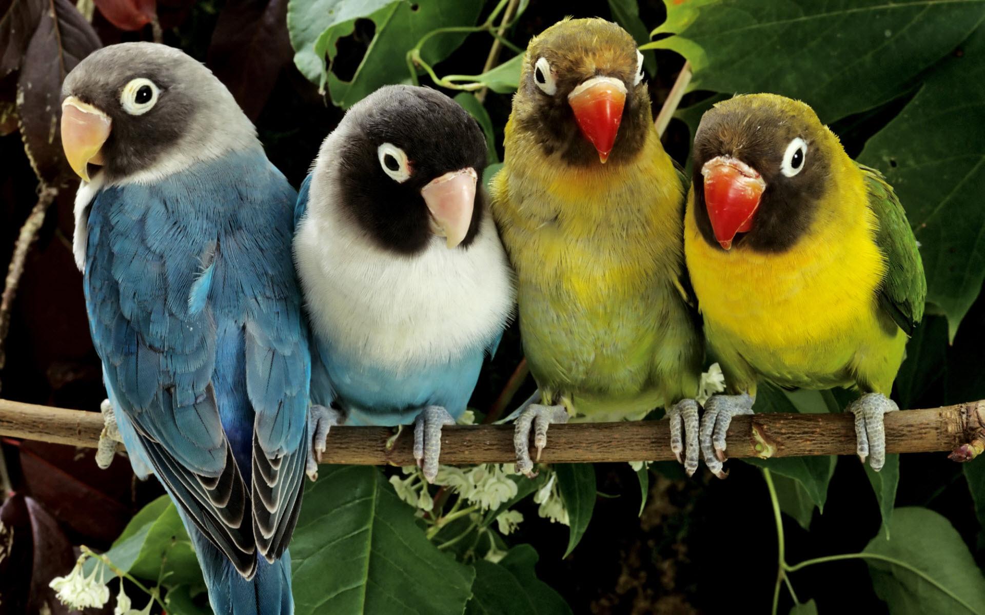 Love Birds cute Wallpaper : Love Birds wallpaper - 611527