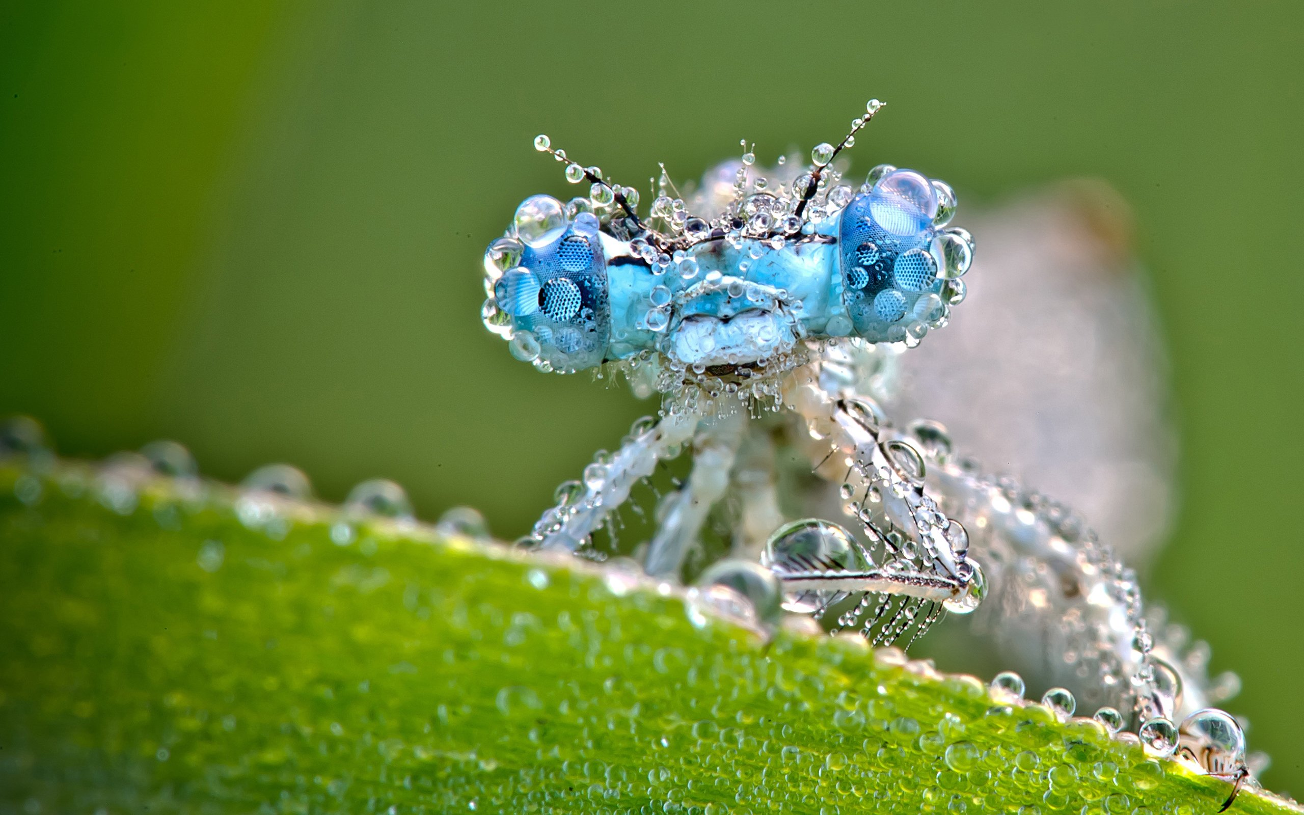 Dragonfly And Dew Drops