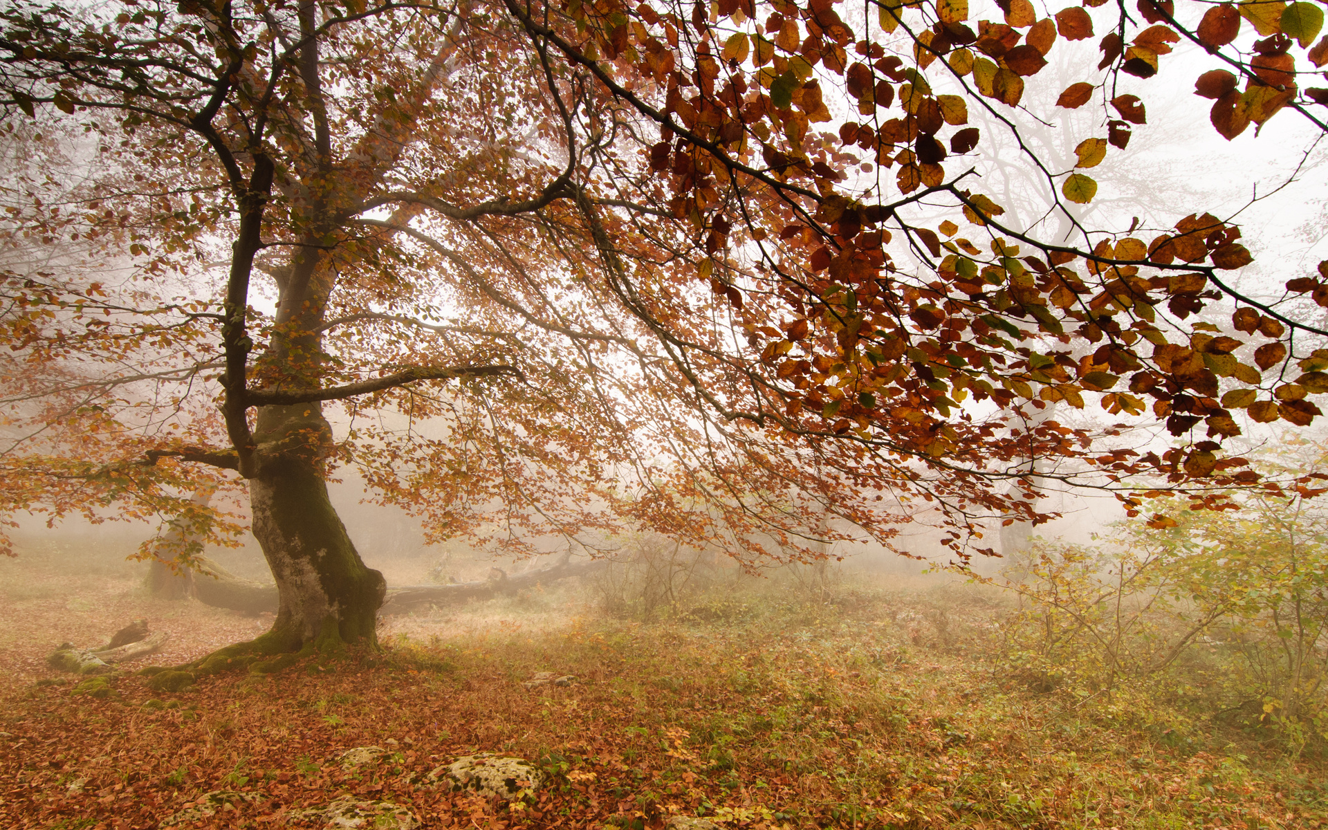 Forest fog autumn tree wallpapers 1920x1200 1925657 for Tree wallpaper for walls