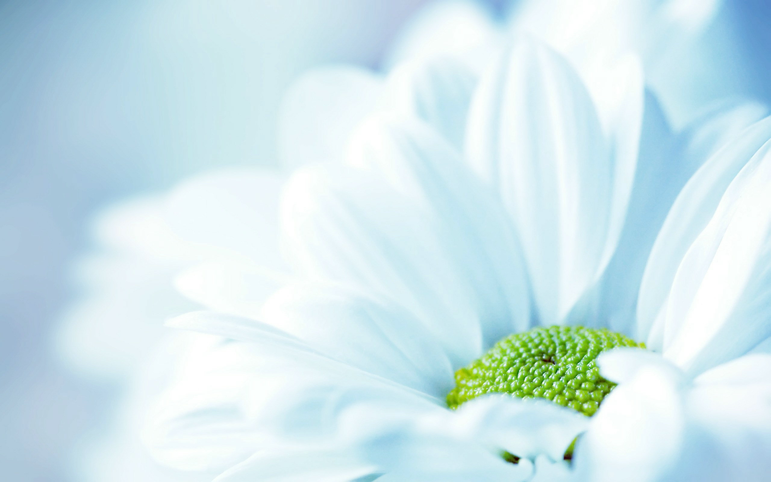 fresh white flower wallpapers - 2560x1600 - 231639