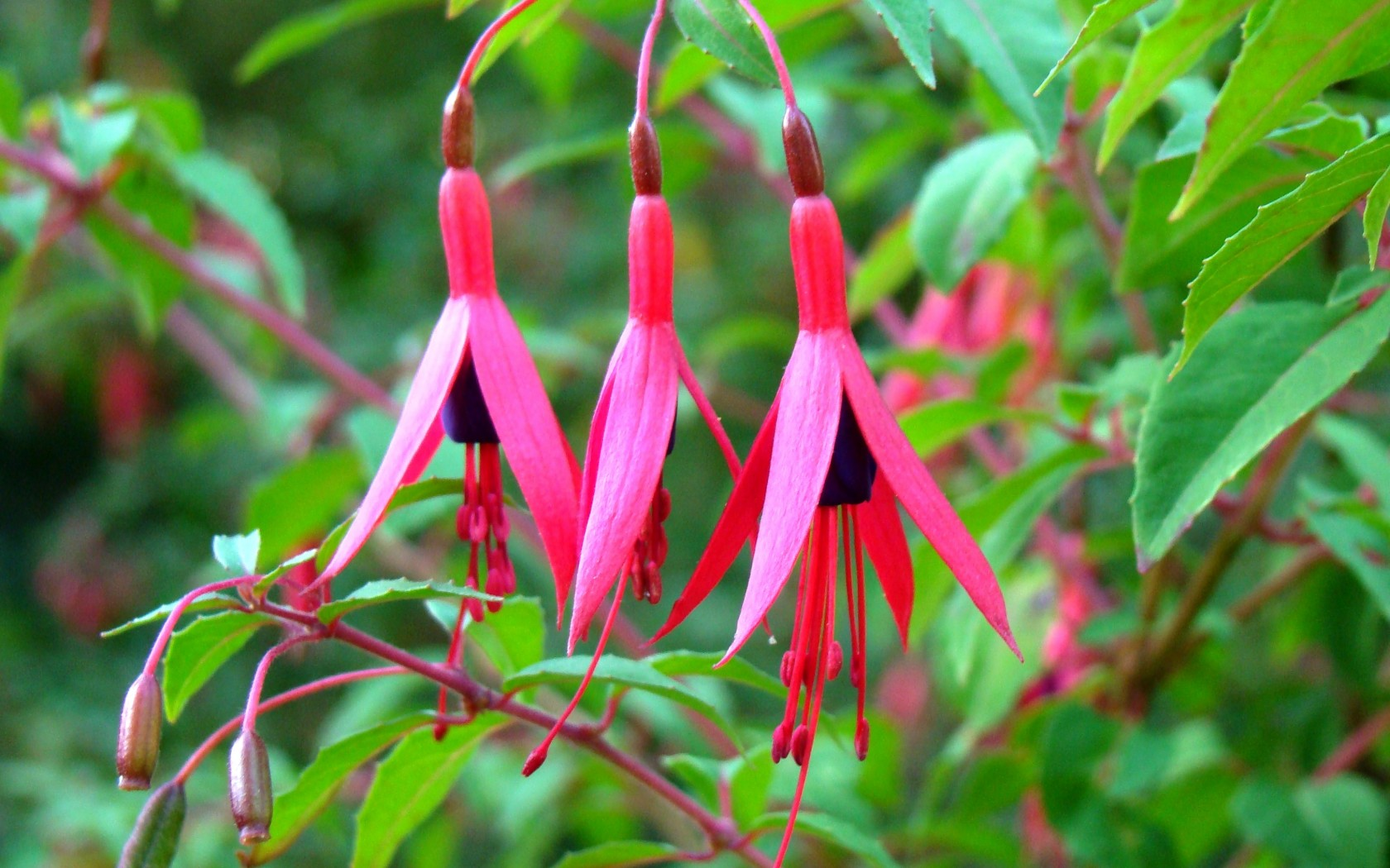 Fuchsia Flower And Leaves Wallpapers
