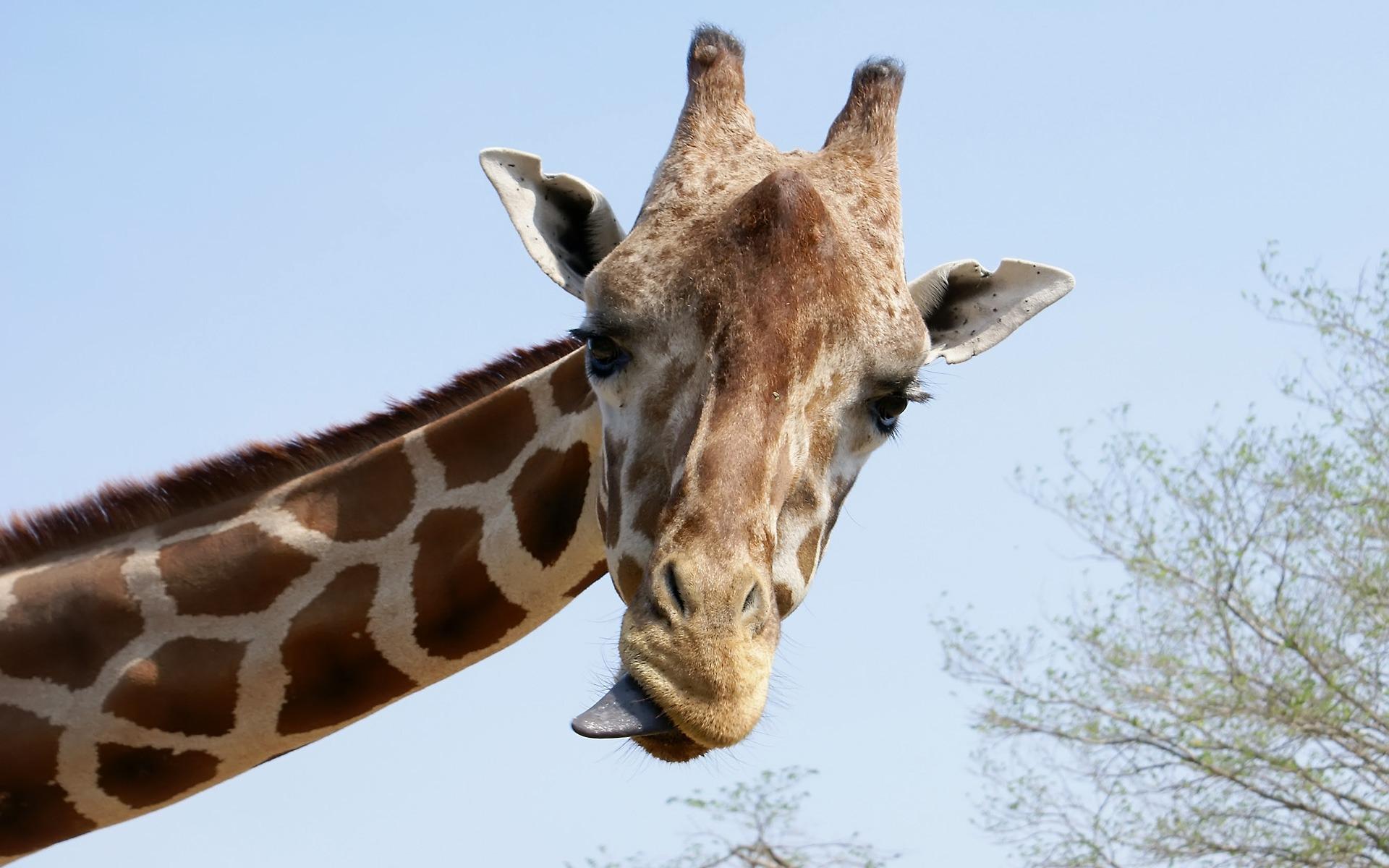 Giraffe tongue - photo#15
