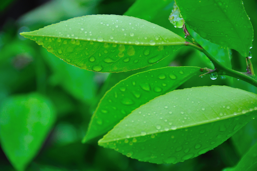 Green Leaves Of Wet After Rain Wallpapers 1024x680 286177