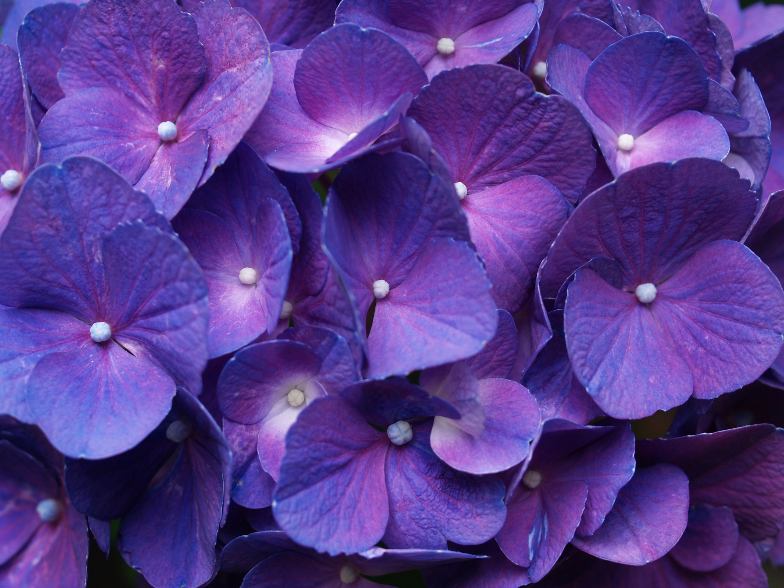 http://www.bhmpics.com/walls/hydrangea_purple-normal.jpg