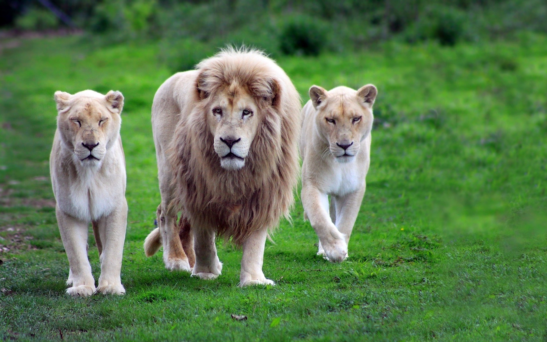 Lion With Two Lioness Wallpapers 1920x1200 946513