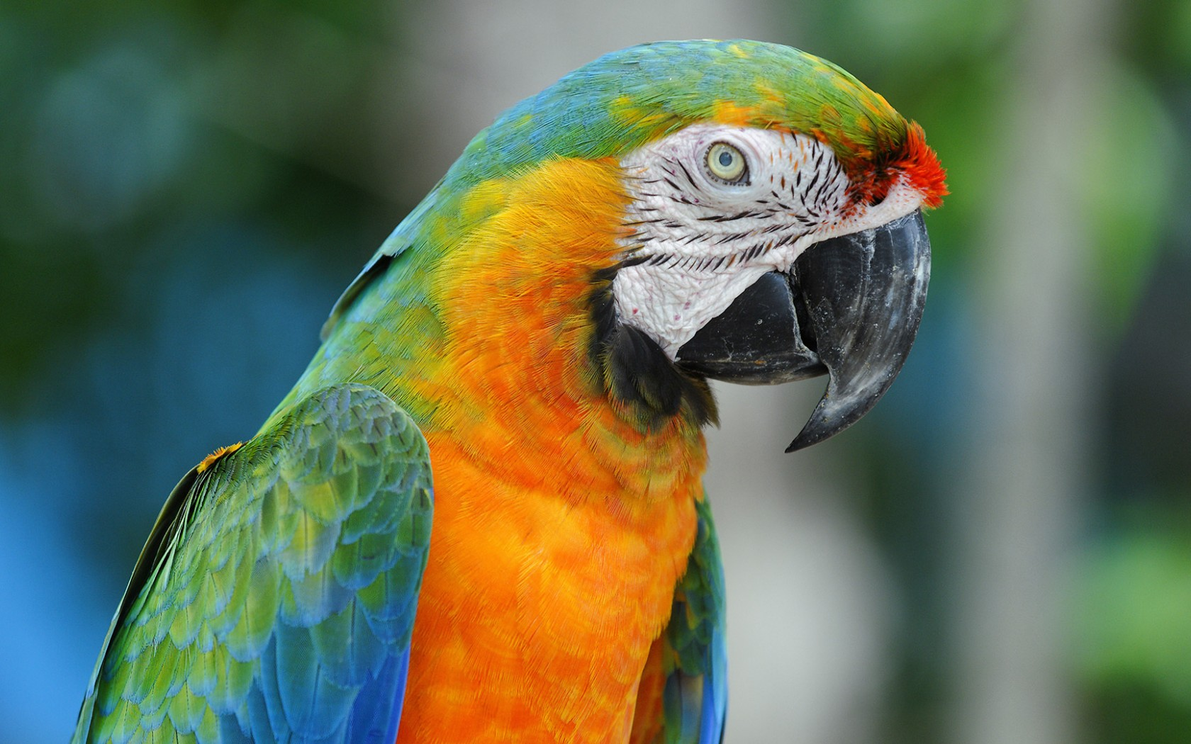 Macaw Colorful Parrot ...