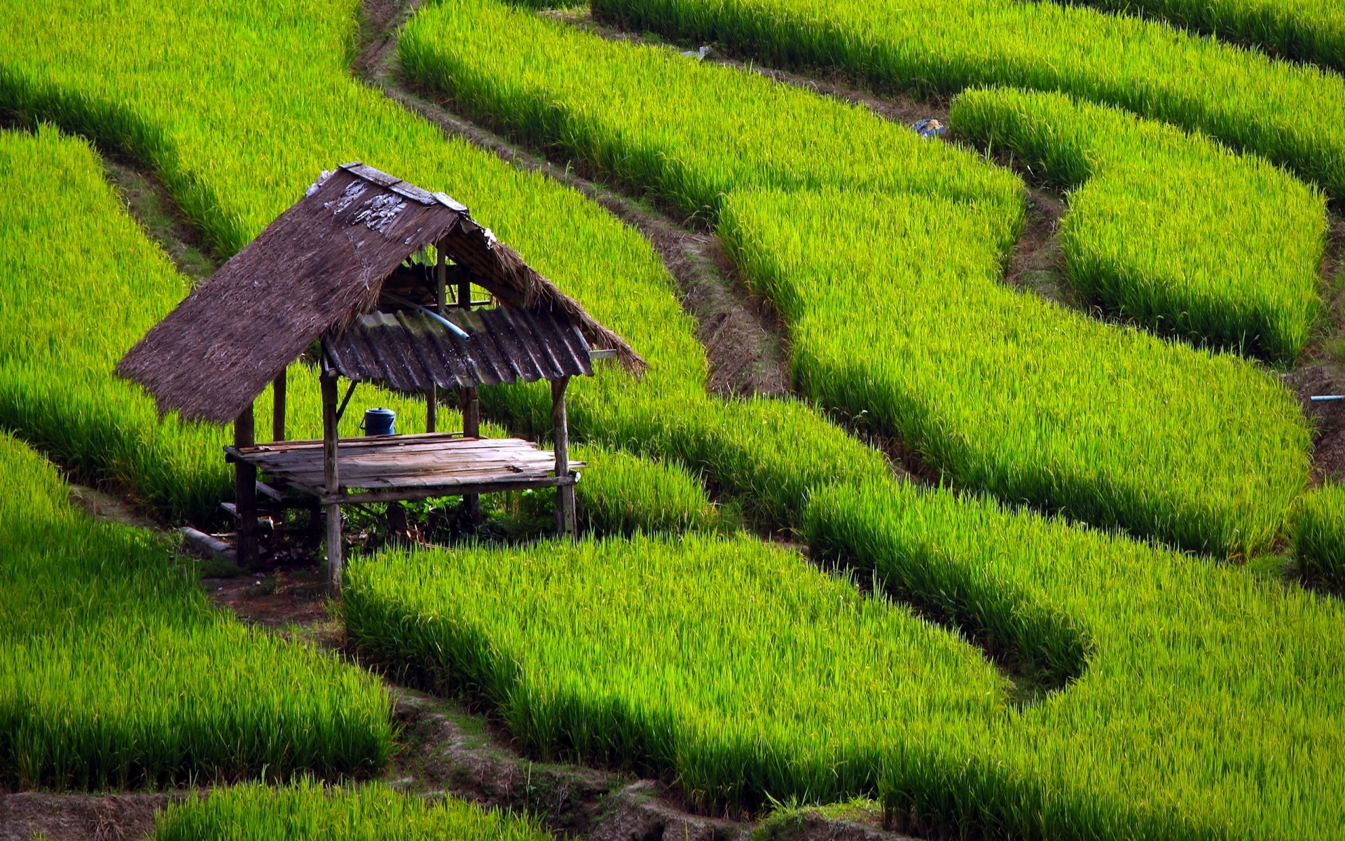 Image result for paddy fields high resolution