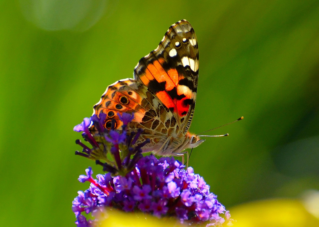 Painted Lady Butterfly Wallpapers - 1024x731 - 368271