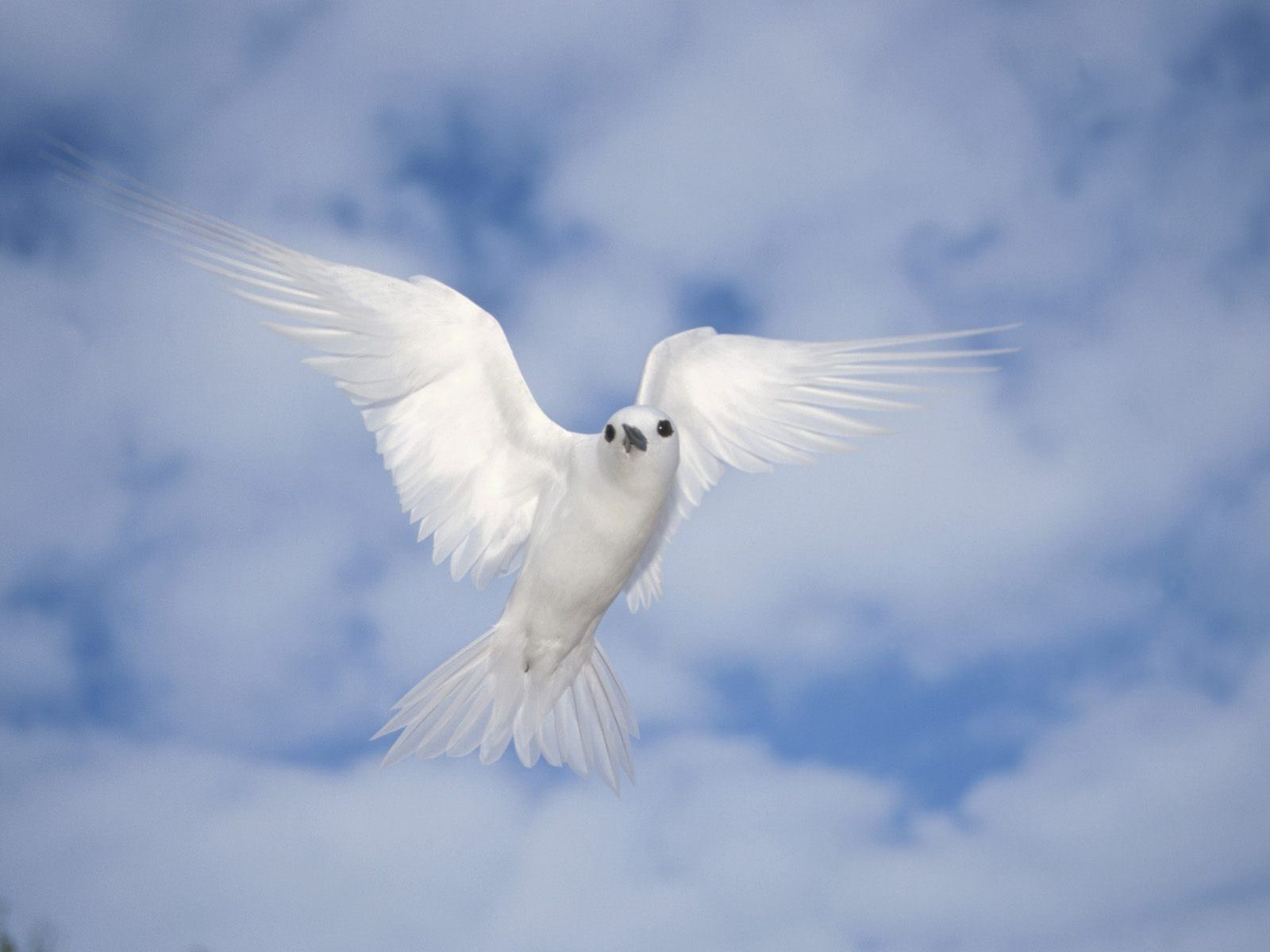 Peace White Dove Wallpapers 1600x1200 102564