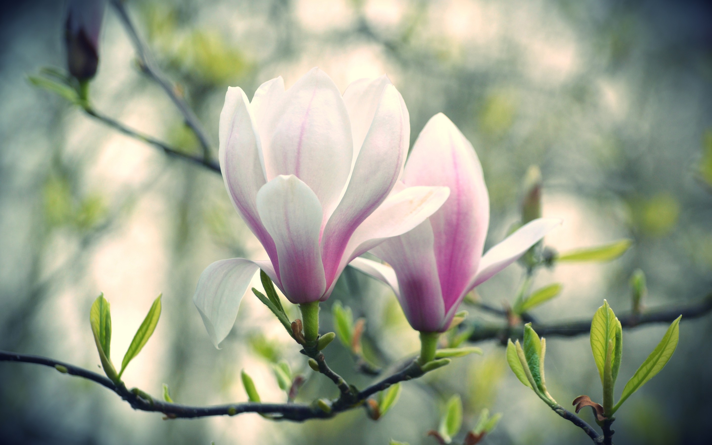 Pink And White Magnolia Flowers Wallpapers 2880x1800