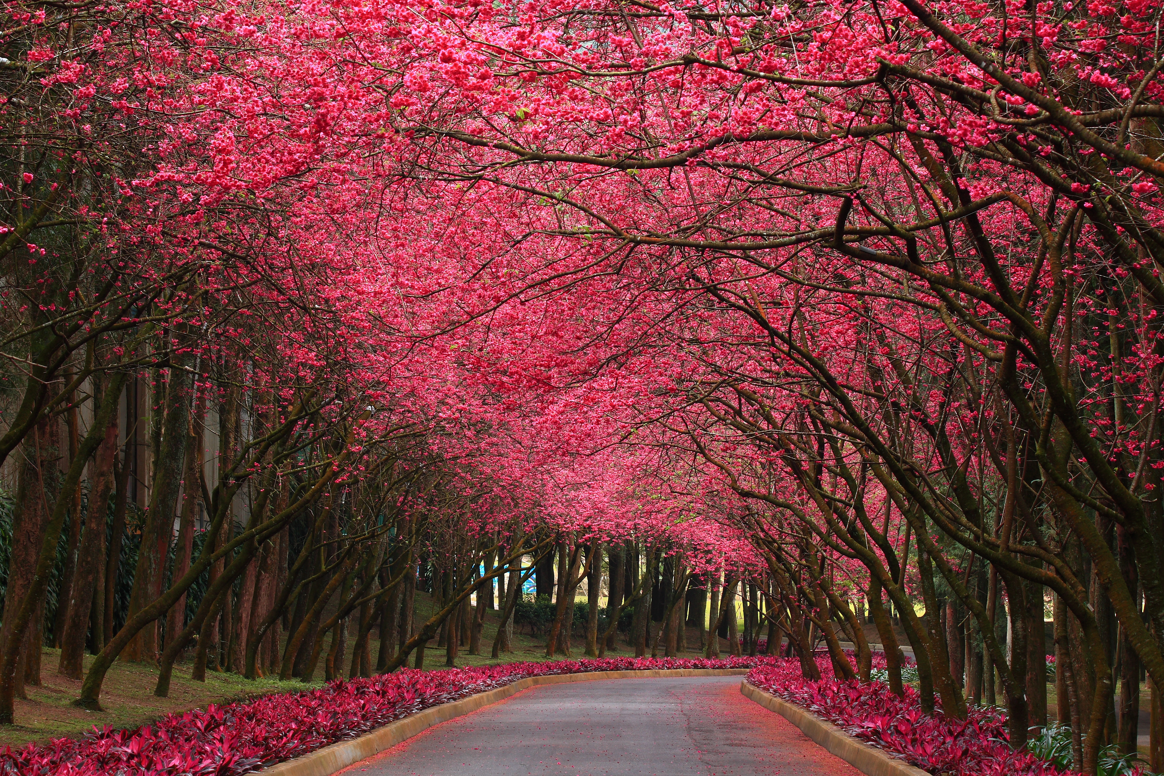 Pink flowering trees wallpapers pink flowering trees click to view mightylinksfo