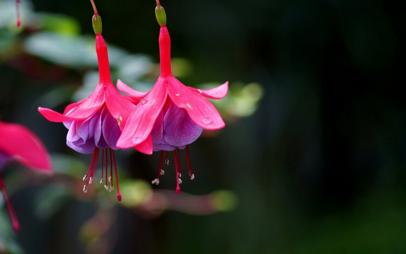 Pink Fuchsia Branch Flowers Wallpapers