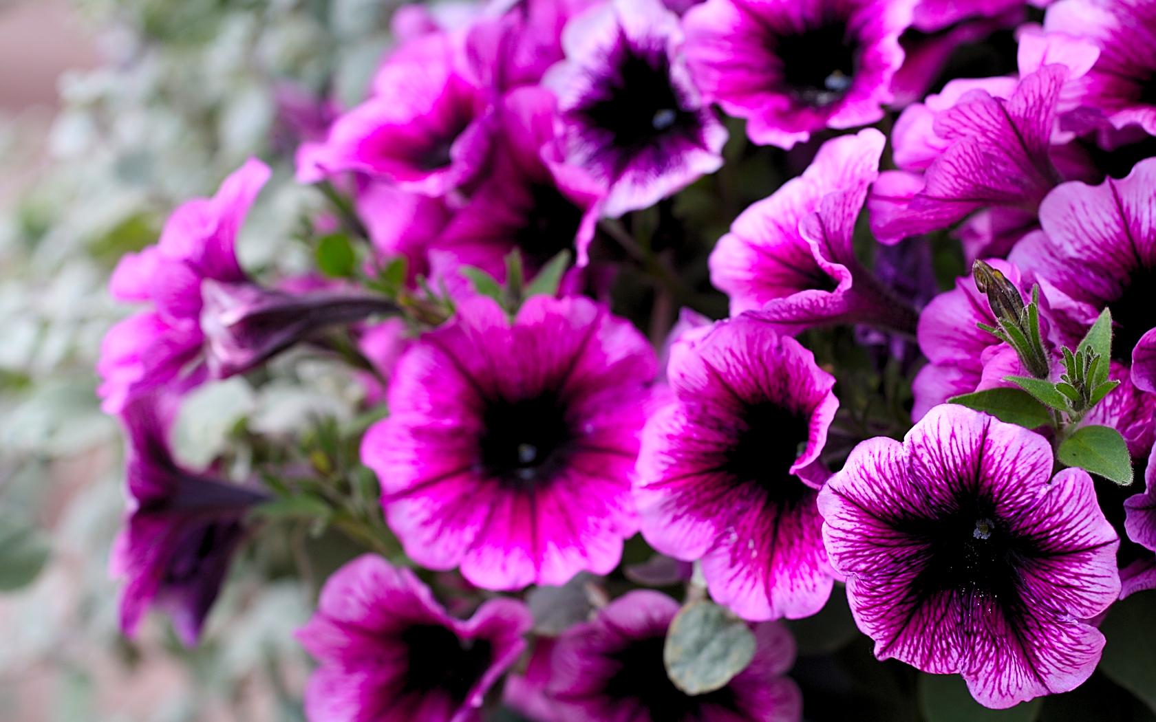Purple Petunias 1680 X 1050 Closedark Flowers Names