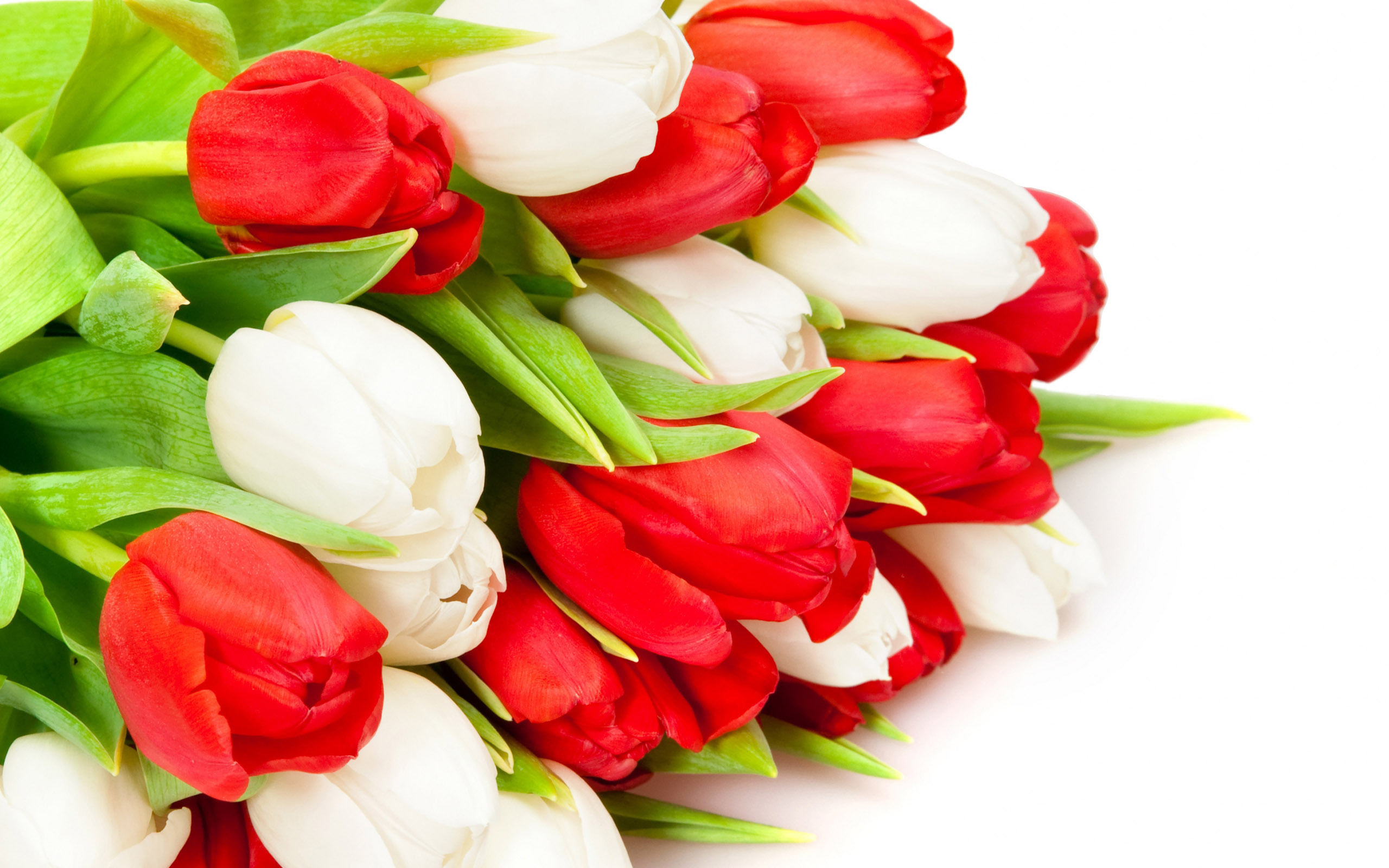 Red White Tulip Bud Flowers Wallpapers 2560x1600 580279