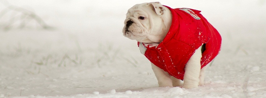 Small Bulldog In Red Jacket