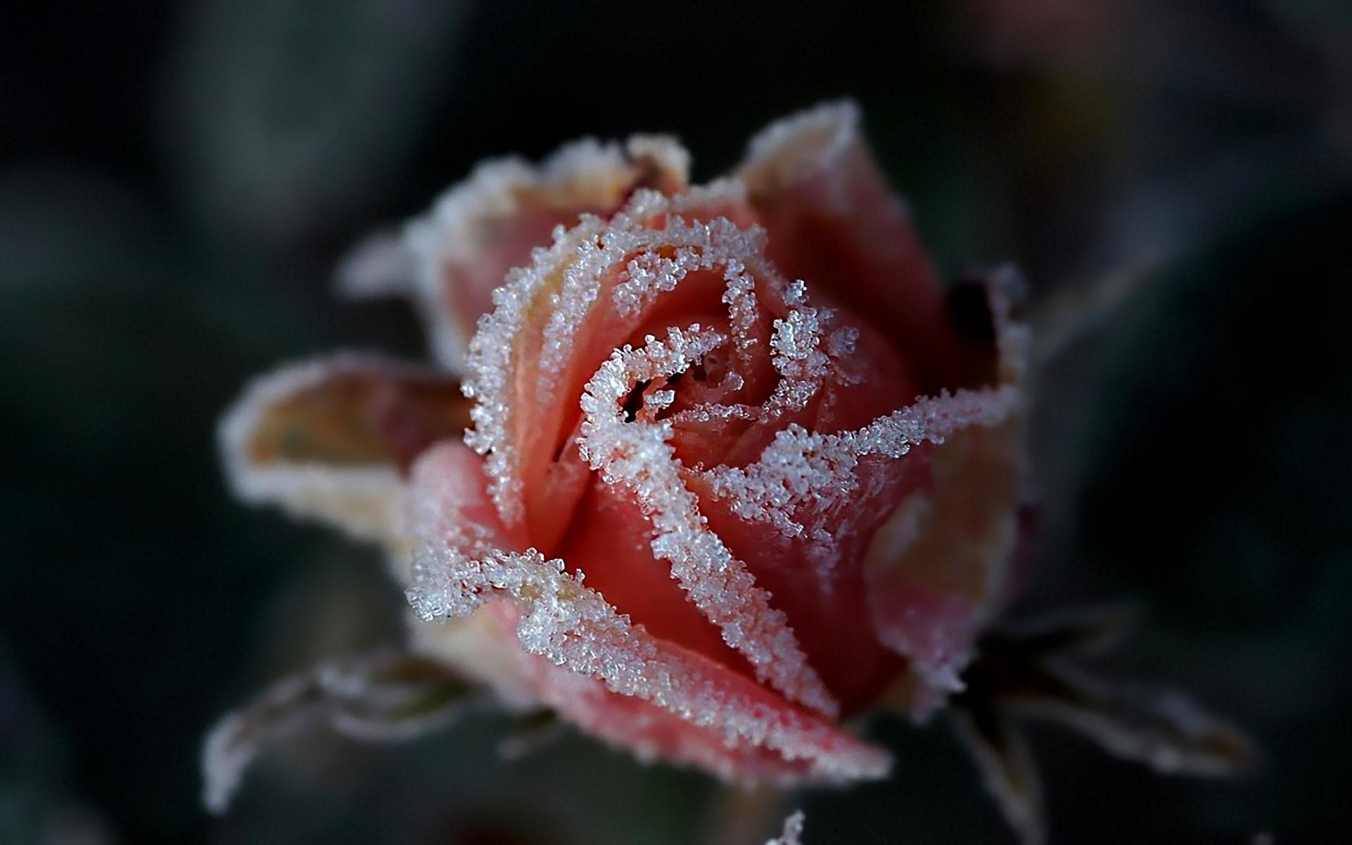 Snow rose flower wallpapers 1920x1200 556602 - Rose in snow wallpaper ...