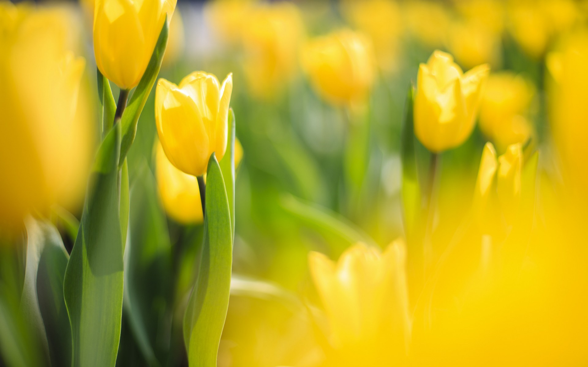 Spring Flowers Yellow Tulips Wallpapers 1920x1200 178469