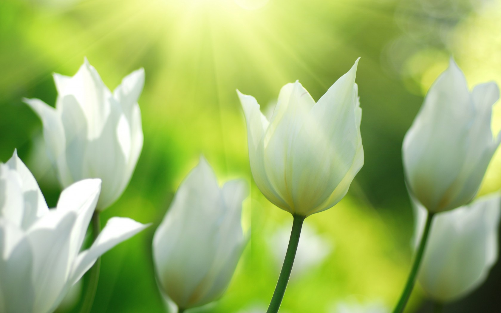 Spring White Tulips Flowers Wallpapers 1680x1050 152780