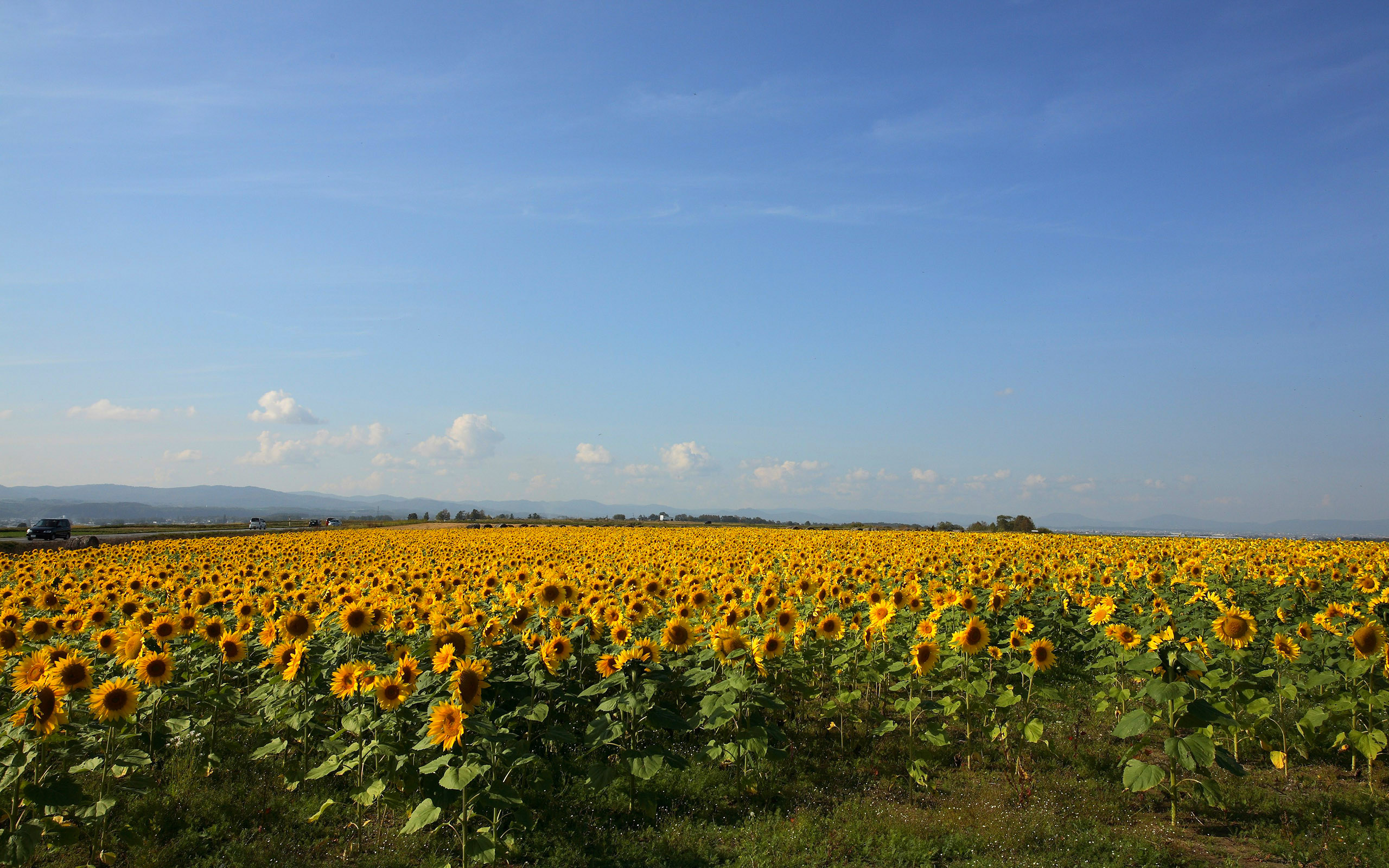 Sunflowers Farm